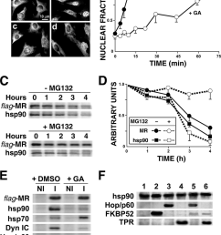 mr retrotransport requires a functional hsp90 complex a inhibitory effect of ga on [ 850 x 1115 Pixel ]