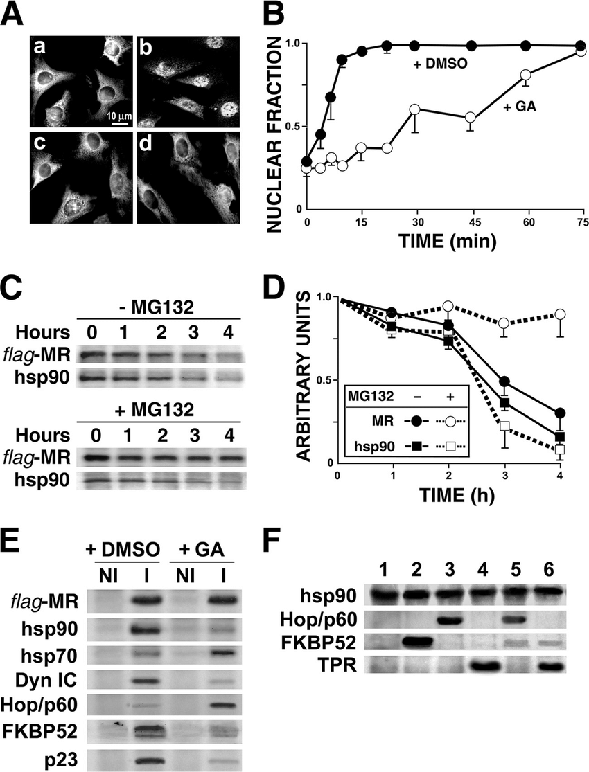hight resolution of mr retrotransport requires a functional hsp90 complex a inhibitory effect of ga on