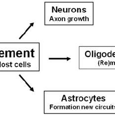 Neural lineage differentiation: Neural stem cells