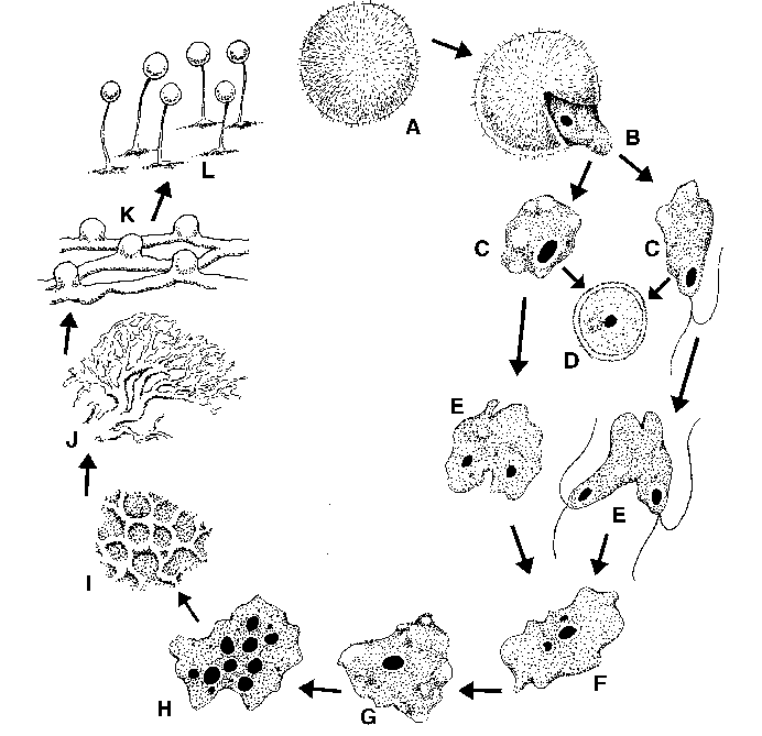 Life cycle of a typical myxomycete. A, Spore. B