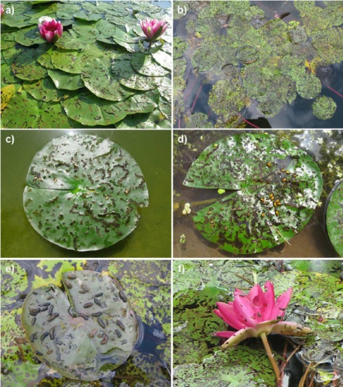 small resolution of damage to water lily leaves and the occurrence of various stages of download scientific diagram