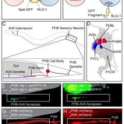 Synapse Diagram Label Weg 12 Lead Motor Wiring Nlg 1 Grasp Labels Specific Synapses Between Phb Sensory Neurons And A Schematic Of Which Uses Split Gfp To Formed Correctly Pre Postsynaptic