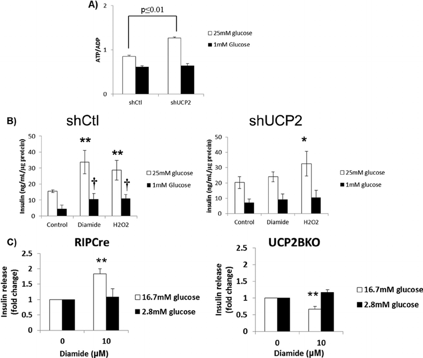 UCP2 is required for the diamide-mediated regulation of