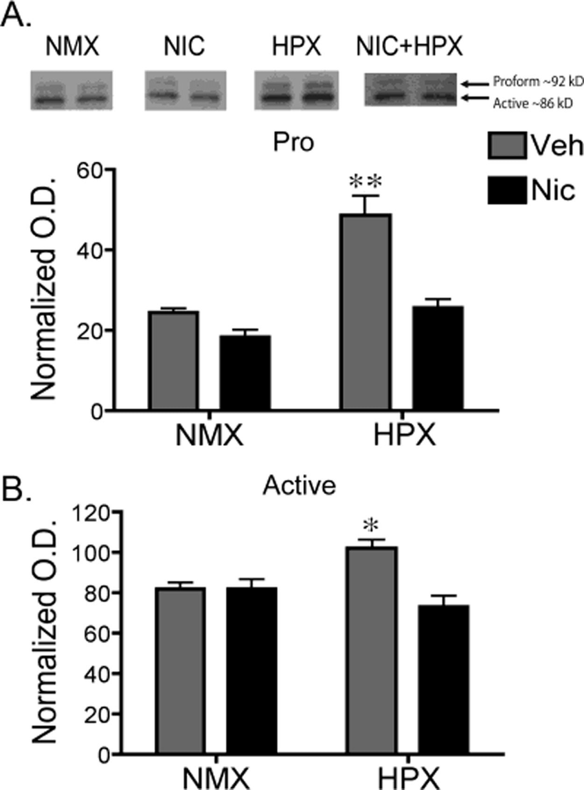 Prenatal hypoxia significantly increased protein levels of