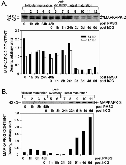 small resolution of ovarian mapkapk 2 and 3 protein expression during sequential pmsg and download scientific diagram