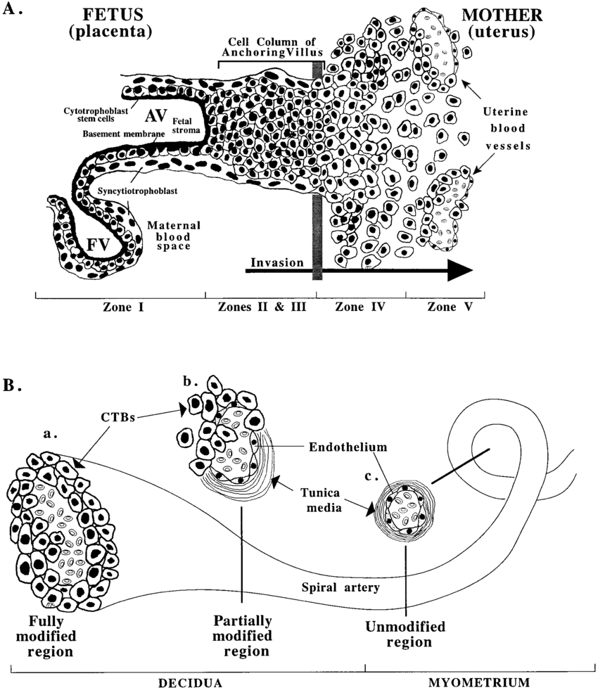 (A) Diagram of a longitudinal section of an anchoring