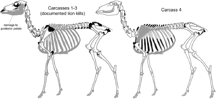 golden eagle skeleton diagram 2003 harley electra glide wiring deer skeletal showing locations damaged by mountain lions while download scientific