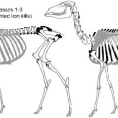 Golden Eagle Skeleton Diagram 1992 Toyota Pickup Radio Wiring Deer Skeletal Showing Locations Damaged By Mountain Lions While Feeding On Adult Carcasses