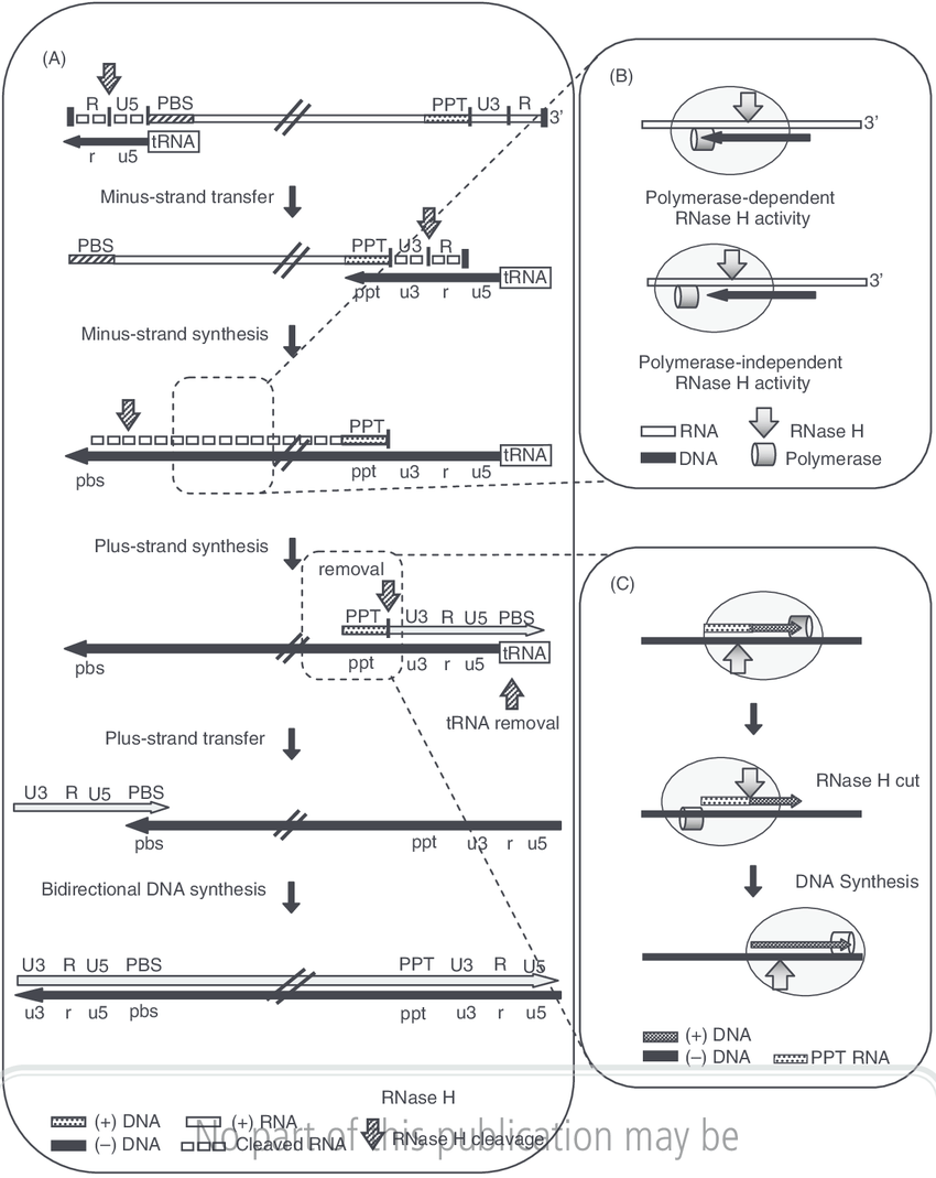 medium resolution of schematic representation of hiv 1 reverse transcription a a stepwise process including