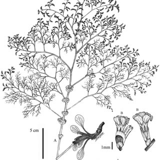 (PDF) Phylogenetics of the Irano-Turanian taxa of Limonium