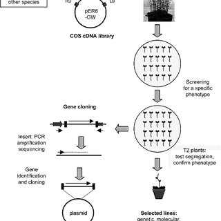 Flow chart of the COS cDNA library transformation and