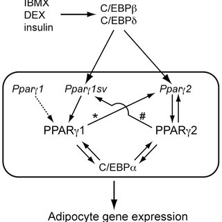 Schematic model for the transcriptional control of Ppar c
