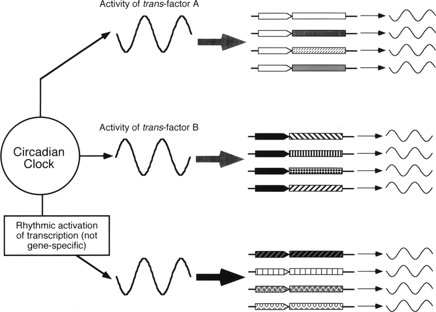 Model for circadian control of gene expression in