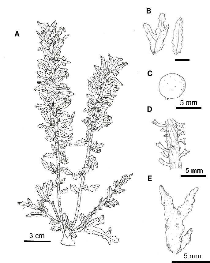 Drawing of Sargassum alternato-pinnatum Yamada collected