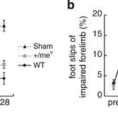 Downregulation of SHP-1 activity enhances functional motor