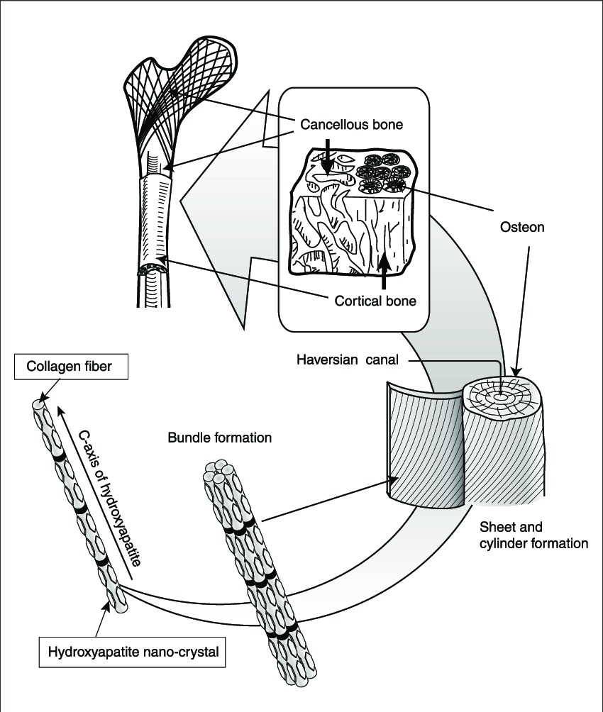 hight resolution of osteon diagram