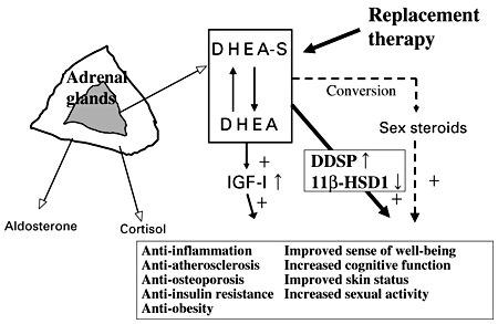 DHEA hormone
