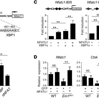 The IRE1 α /XBP1 pathway is activated in BMMs after RANKL