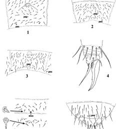 protaphorura levantina chaetotaxy of abdominal sternum iv 2 and 5 orthonychiurus [ 850 x 1061 Pixel ]
