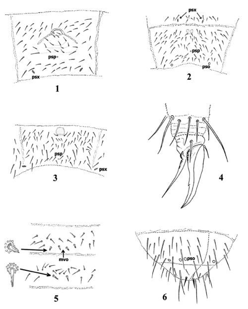 small resolution of protaphorura levantina chaetotaxy of abdominal sternum iv 2 and 5 orthonychiurus
