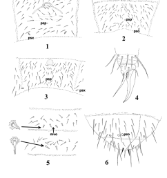 protaphorura levantina chaetotaxy of metasomal sternum iv 2 and 5 orthonychiurus [ 850 x 1174 Pixel ]