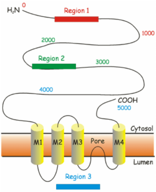 small resolution of schematic diagram of regions with different hotspot mutations for ryr region 1 amino acids