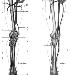 main arteries and veins of the lower extremities arteries 1 femoral artery [ 720 x 1289 Pixel ]