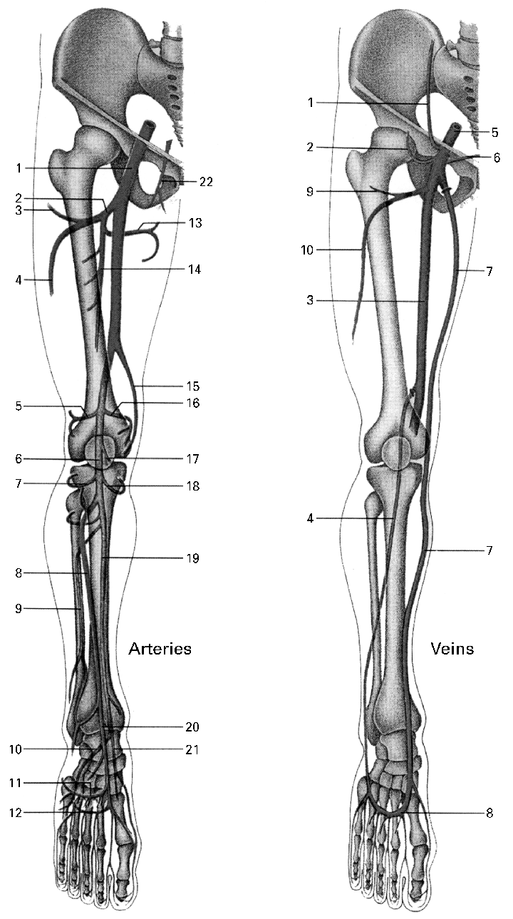 medium resolution of main arteries and veins of the lower extremities arteries 1 femoral artery