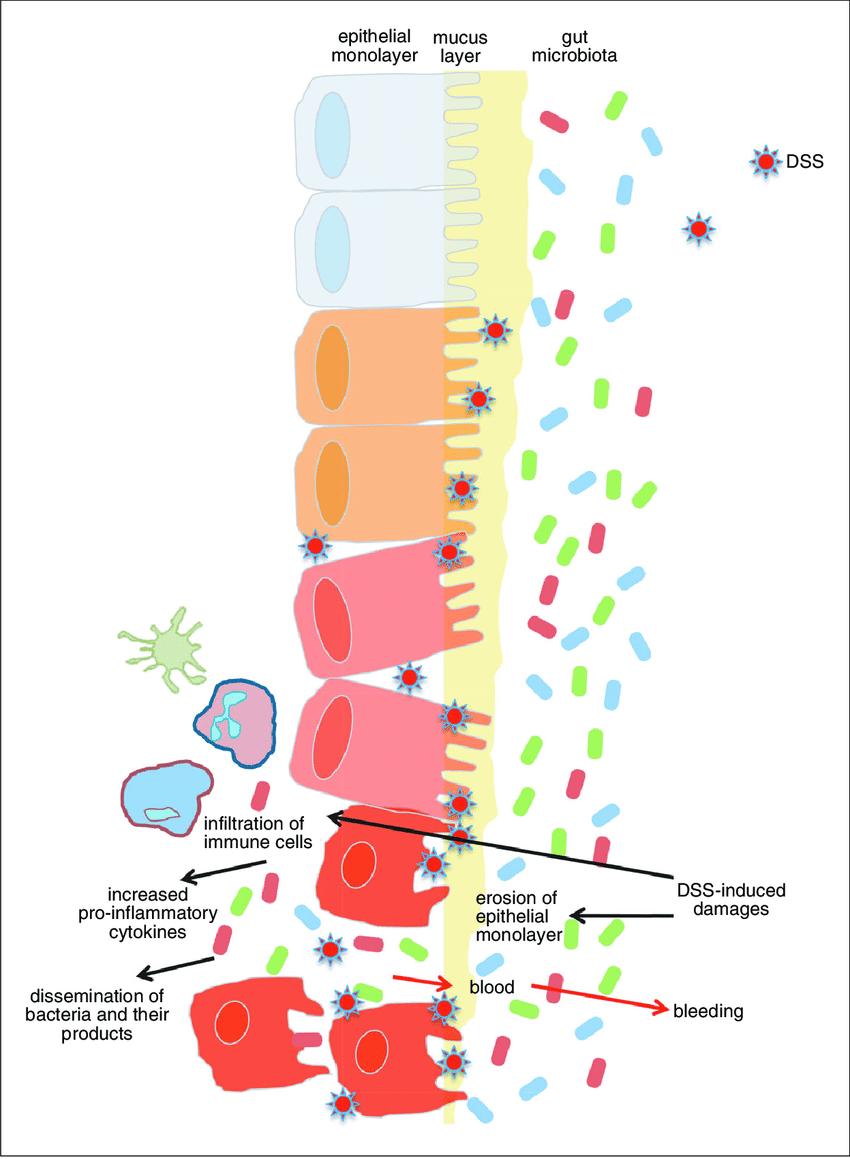 medium resolution of 25 2 schematic representation of dss induced colitis