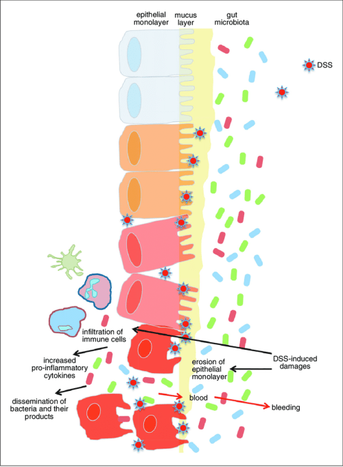 small resolution of 25 2 schematic representation of dss induced colitis