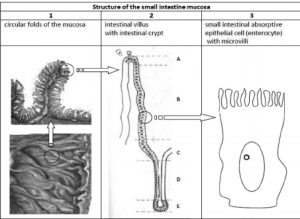 Structure of the small intestinal mucosa Schematic