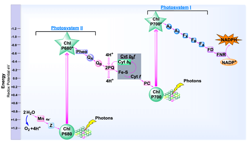 photosynthesis z scheme diagram pioneer deh 1400 wiring illustration of oxygenic abbreviations mn download scientific