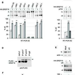 (PDF) SRSF10 Connects DNA Damage to the Alternative