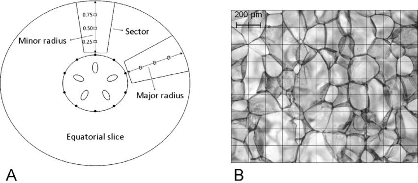 Schematic diagram of the apple flesh sampling method