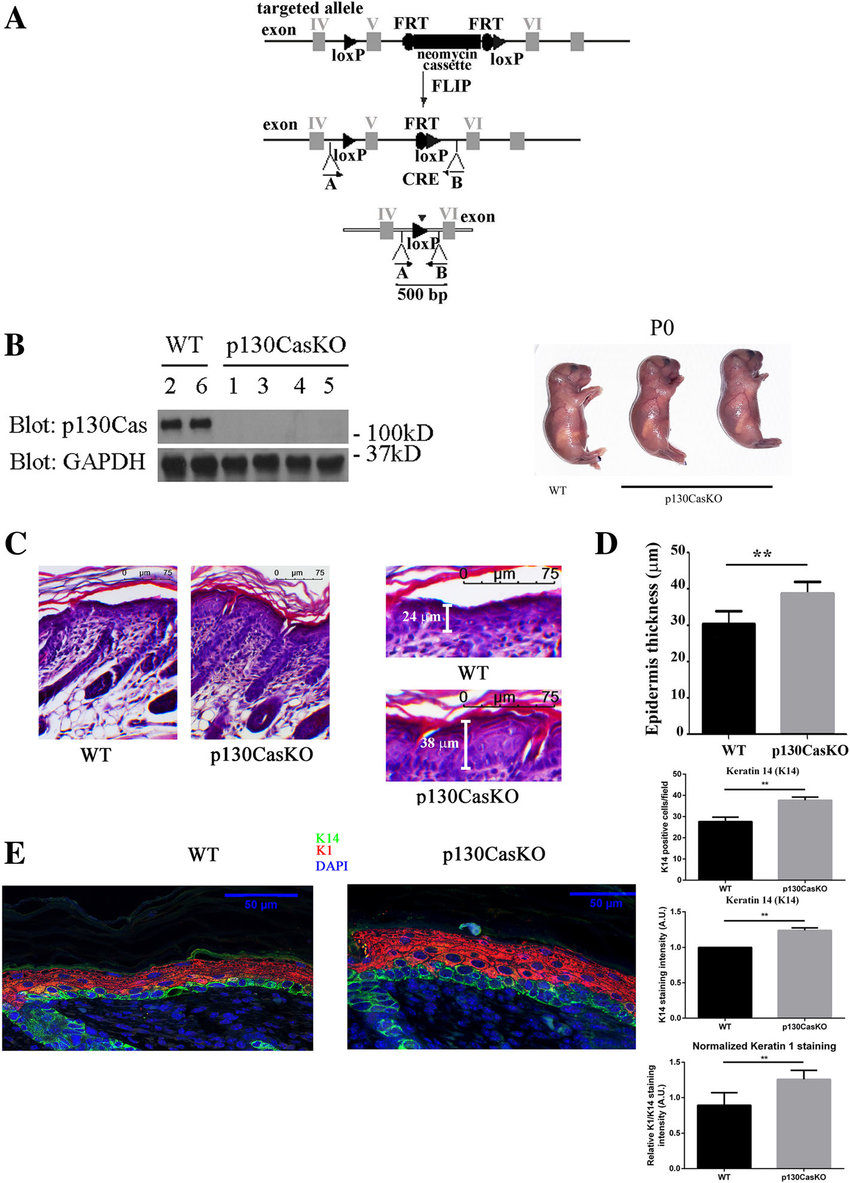 hight resolution of conditional deletion of p130cas in the mouse epidermis a schematic representation of p130cas