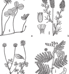 legumes common in managed grasslands and native rangelands a wild carrot white clover diagram [ 850 x 1072 Pixel ]