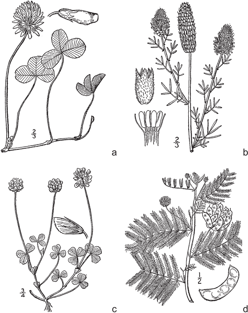 hight resolution of legumes common in managed grasslands and native rangelands a wild carrot white clover diagram