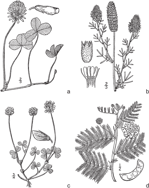 small resolution of legumes common in managed grasslands and native rangelands a wild carrot white clover diagram