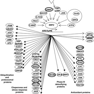 Evaluation of Nrf2 protein and its respective target genes