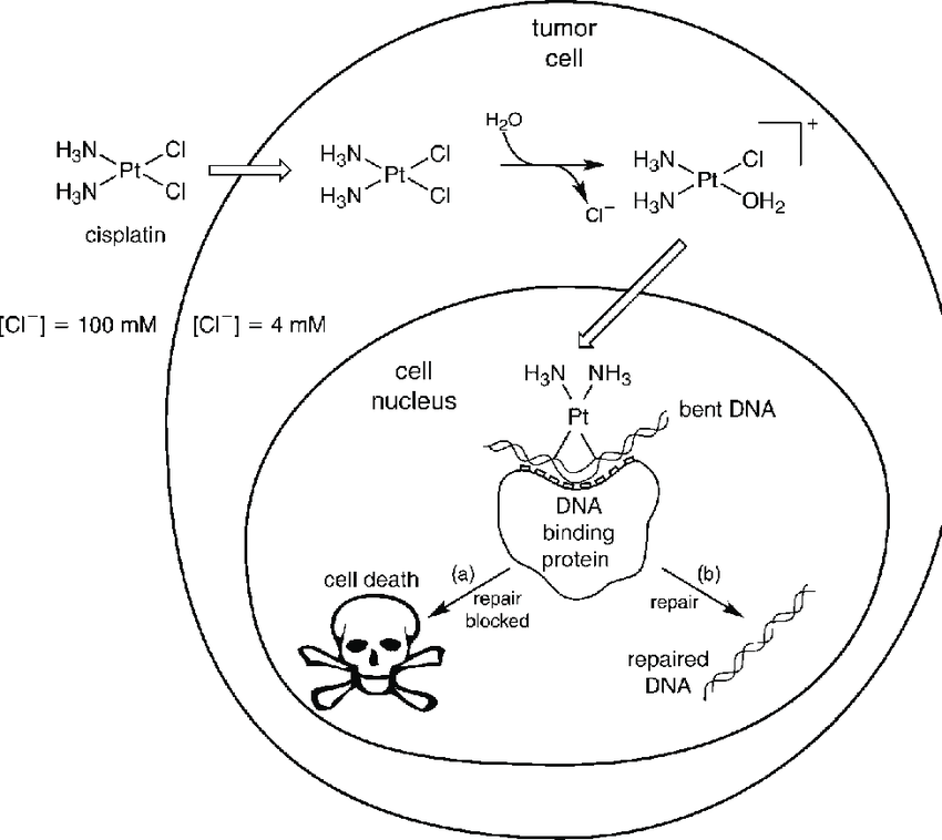 Schematic showing the cytotoxic pathway for cisplatin