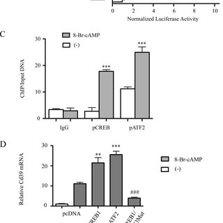 cAMP signaling promotes transcription of mouse Cd39. Shown