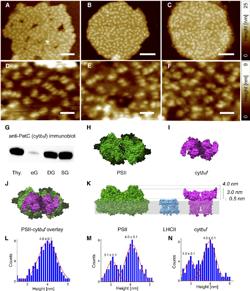 medium resolution of afm analysis of grana thylakoid membranes isolated from spinach