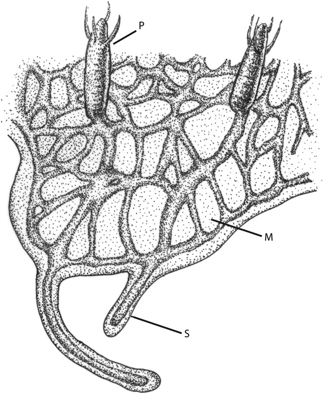 -Schematic showing the morphology of a Hydractinia colony