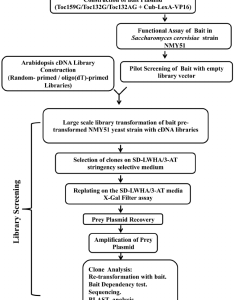Flow chart outlining the protocol used for split ubiquitin based screening of an arabidopsis cdna library interactors attoc  attoc  and also rh researchgate