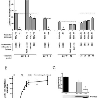 (PDF) Glucocorticoid-dependent transdifferentiation of