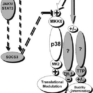 IL-10 inhibits p38-mediated signals that activate TNF mRNA