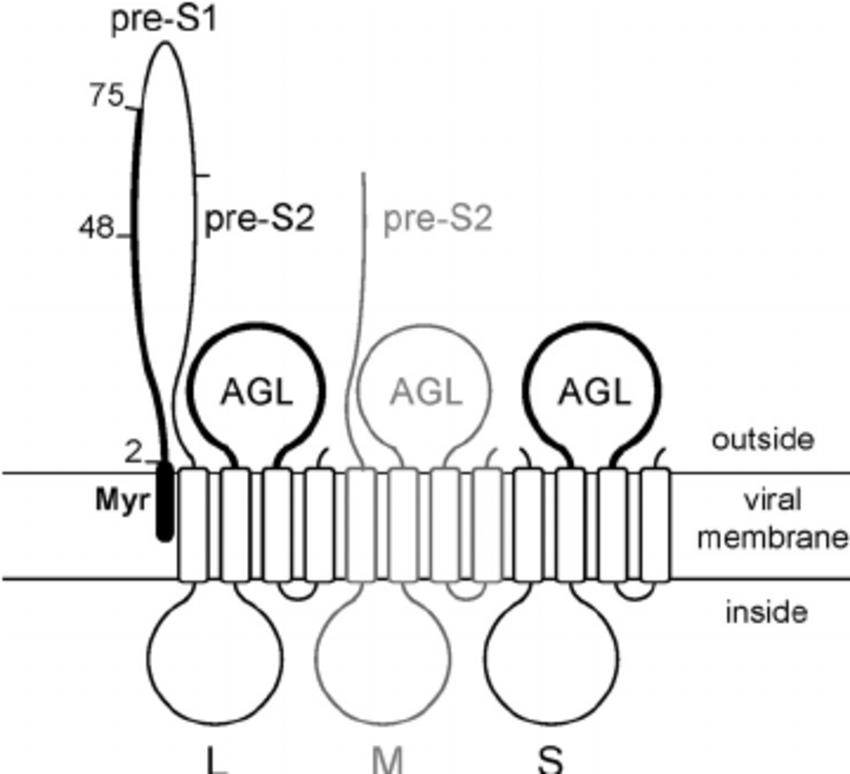Schematic representation of HBV envelope proteins. The