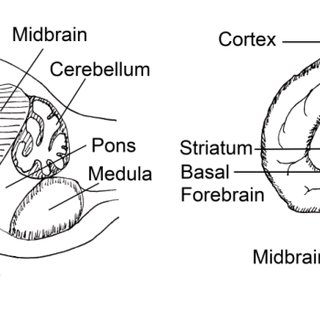 1. Schematic overview of basic brain anatomy, in a