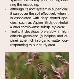 alpine bluegrass poa alpina an important species for revegetation  [ 595 x 1465 Pixel ]