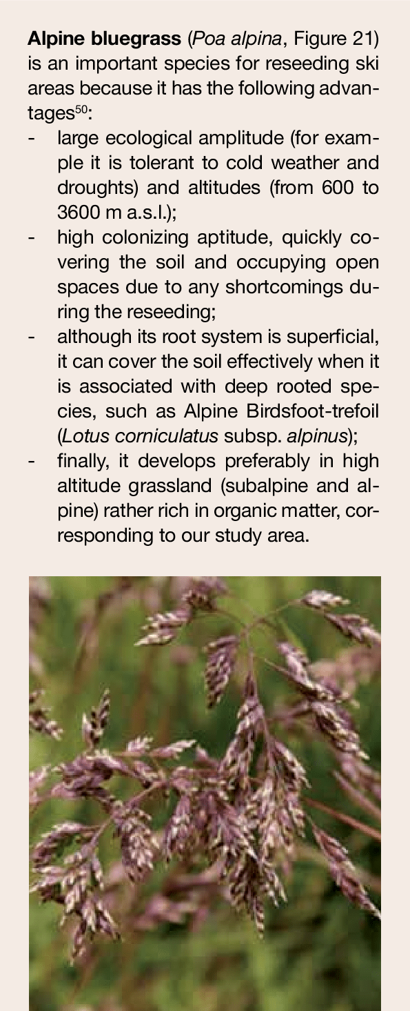 medium resolution of alpine bluegrass poa alpina an important species for revegetation